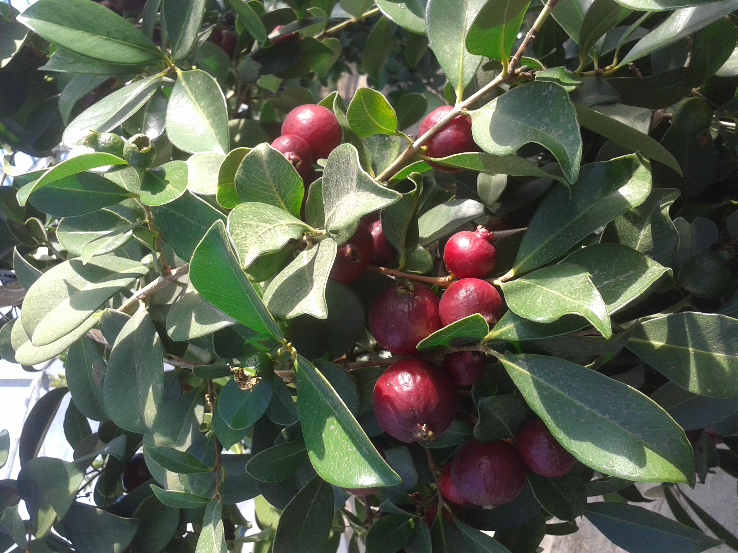 Aardbei – Guave